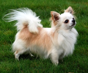 Chihuahua Preço