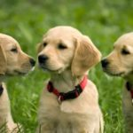 Labrador Retriever: Preço, informações e características