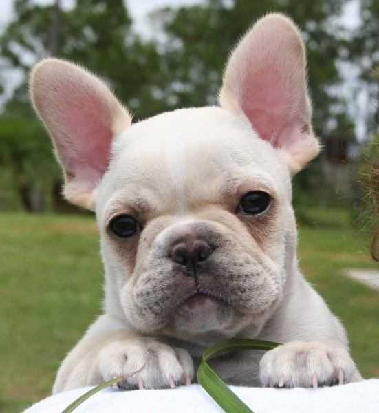 Bulldog Francês Preço - Quanto Custa Um