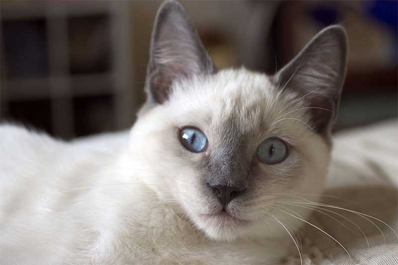 imagenes de gatos siameses: