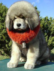 Mastiff- Preço