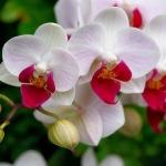 Quanto custa uma Orquídea
