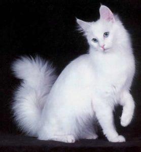 Gato Angorá - Preço