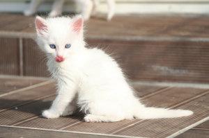 Gato Angorá - Quanto custa