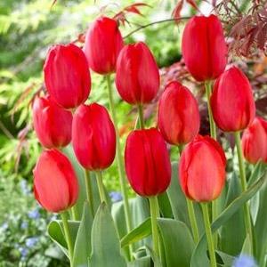 Tulipa - Preço