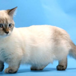 Gato Munchkin – Preço