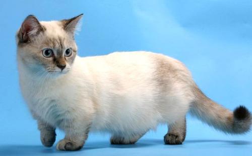 Resultado de imagem para gato munchkin filhote