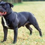 Staffordshire Bull Terrier – Preço