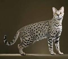 gato savannah - Preço