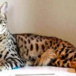 Gato Savannah: Preço, características da raça