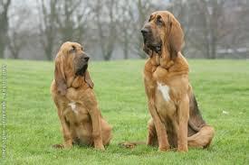 Bloodhound - Preço