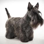 Scottish Terrier – Preço