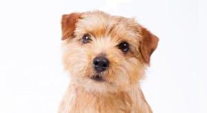 Norfolk Terrier - Preço