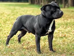 Staff Bull Terrier - Preço