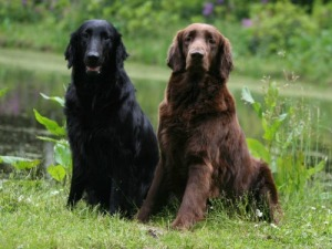 Flat Coated Retriever - Quanto custa