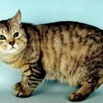 Gato Manx: Preço, características