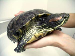 Tartaruga - Preço