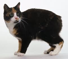 Gato Manx - Preço