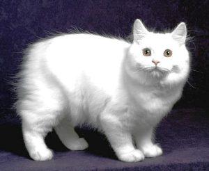 Gato Cymric - Preço