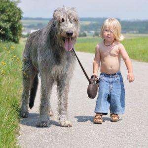 Irish Wolfhound - Preço