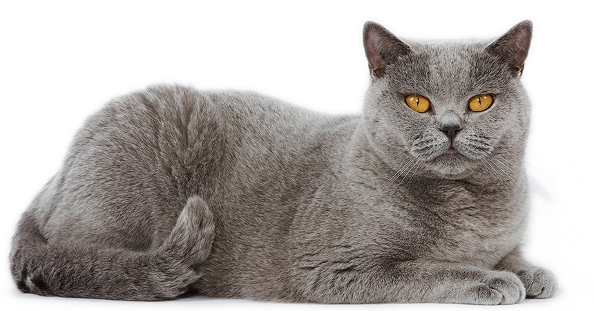 Gato British Shorthair - Preço