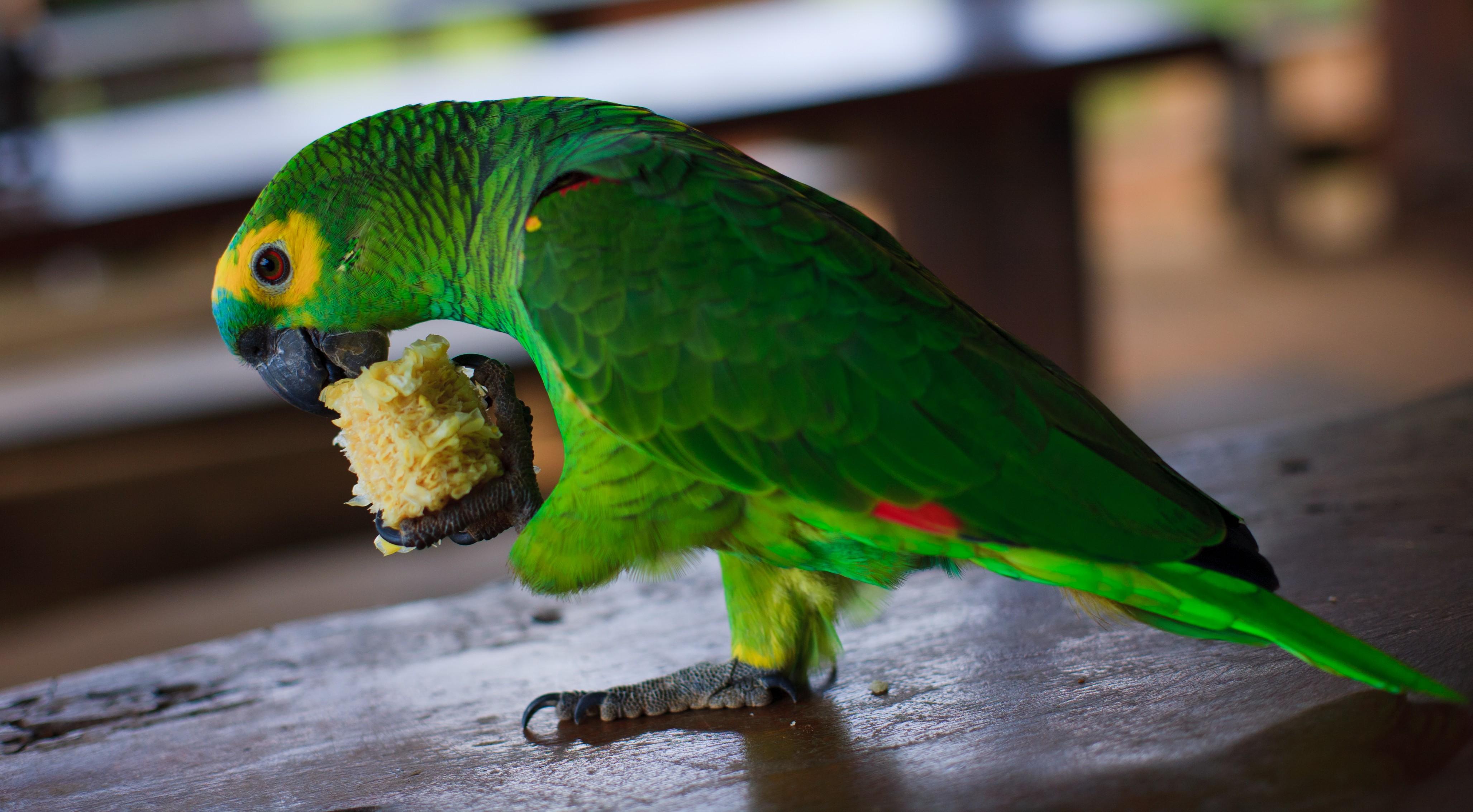 Papagaio Preço