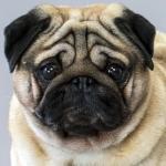 Pug Preço | Veja Quanto Custa Um Pug