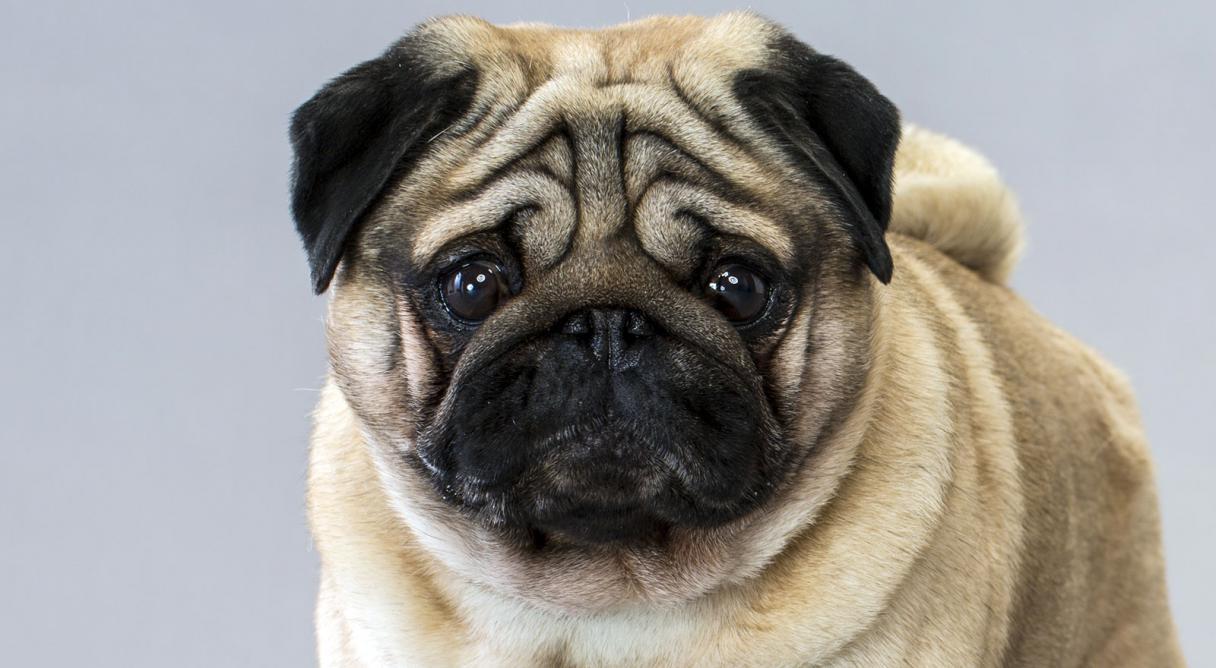 Cão Pug