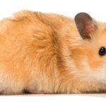 Hamster – Preço, onde comprar