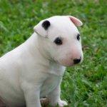 Bull Terrier Preço