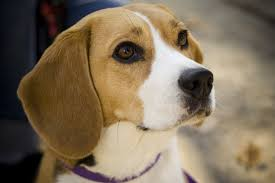 Beagle Preço