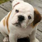 Bulldog: Preço, características e informações