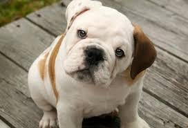 Bulldog Preço