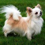 Chihuahua: Preço, características