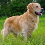 Golden Retriever : Preço e características