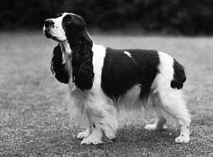 Cocker preto e branco