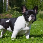 Bulldog Francês – Preço, temperamento, cuidados