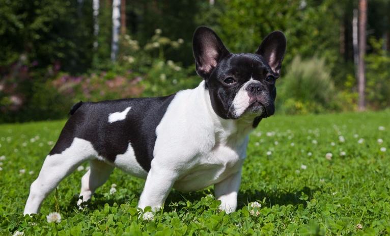 Bulldog Francês Preço