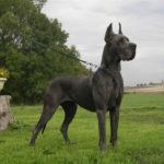Dogue Alemão: Preço, Informações e Características