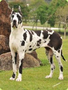 Quanto Custa Um Dog Alemão