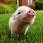 Mini Pig, Mini Porco – Preço, onde comprar