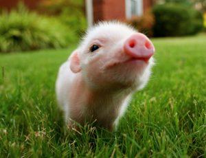 Mini Pig Preço