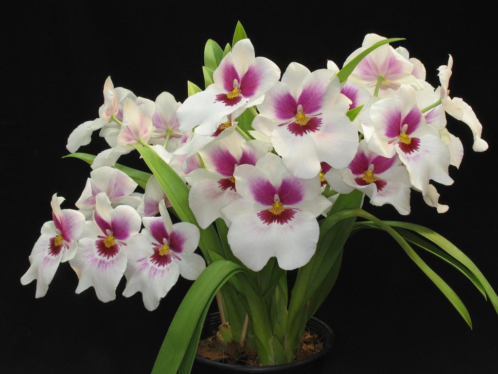 Orquídea - Quanto custa