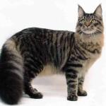 Gato Maine Coon – Preço
