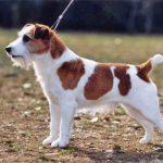 Jack Russel Terrier – Preço