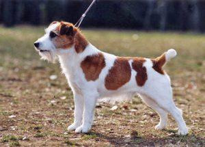 Jack Russel Terrier - Preço