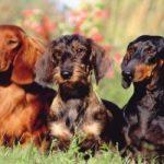 Quanto Custa Um Cão Dachshund? Preço