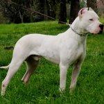 Dogo Argentino- Preço