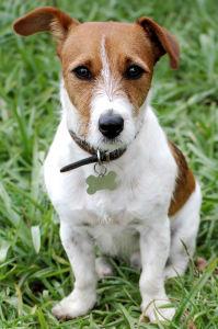 Jack Russel Terrier - Quanto custa