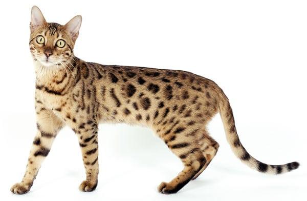 Gato Bengal - Preço